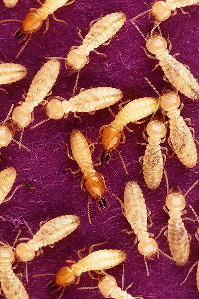 termite control in portland area