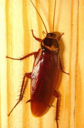 Pest Control, portland oregon, pdx pest control, vancouver pest control, oregon city pest control, cockroach treatment.