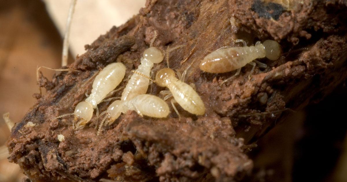 Termite Treatment Vancouver WA