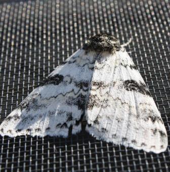 Moth in Portland Oregon