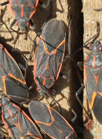 Portland box elder beetle treatment