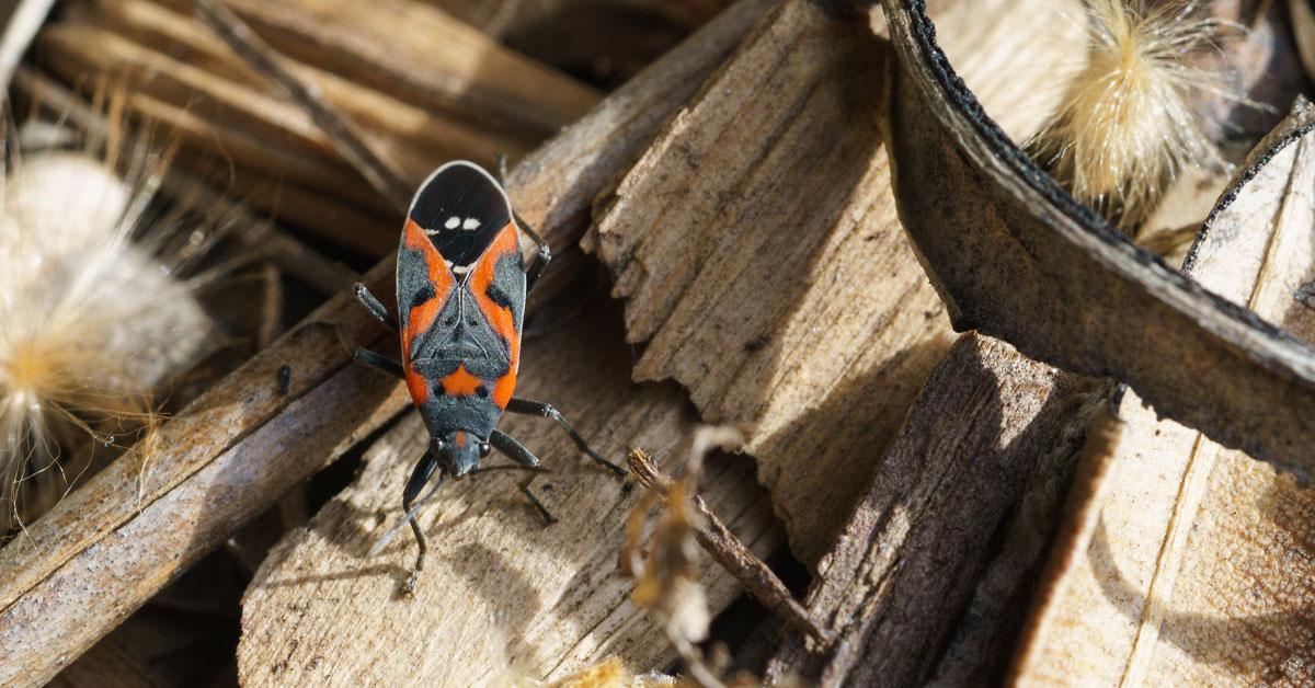 What Kills Boxelder Beetles Portland OR