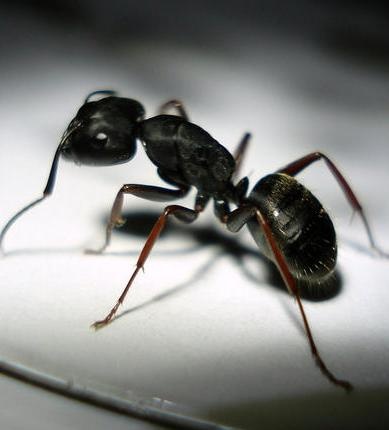 Carpenter Ant Portland Oregon