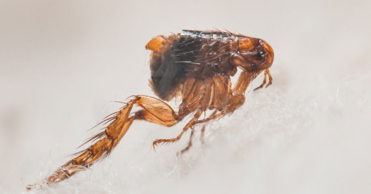 How To Get Rid Of Fleas Vancouver WA