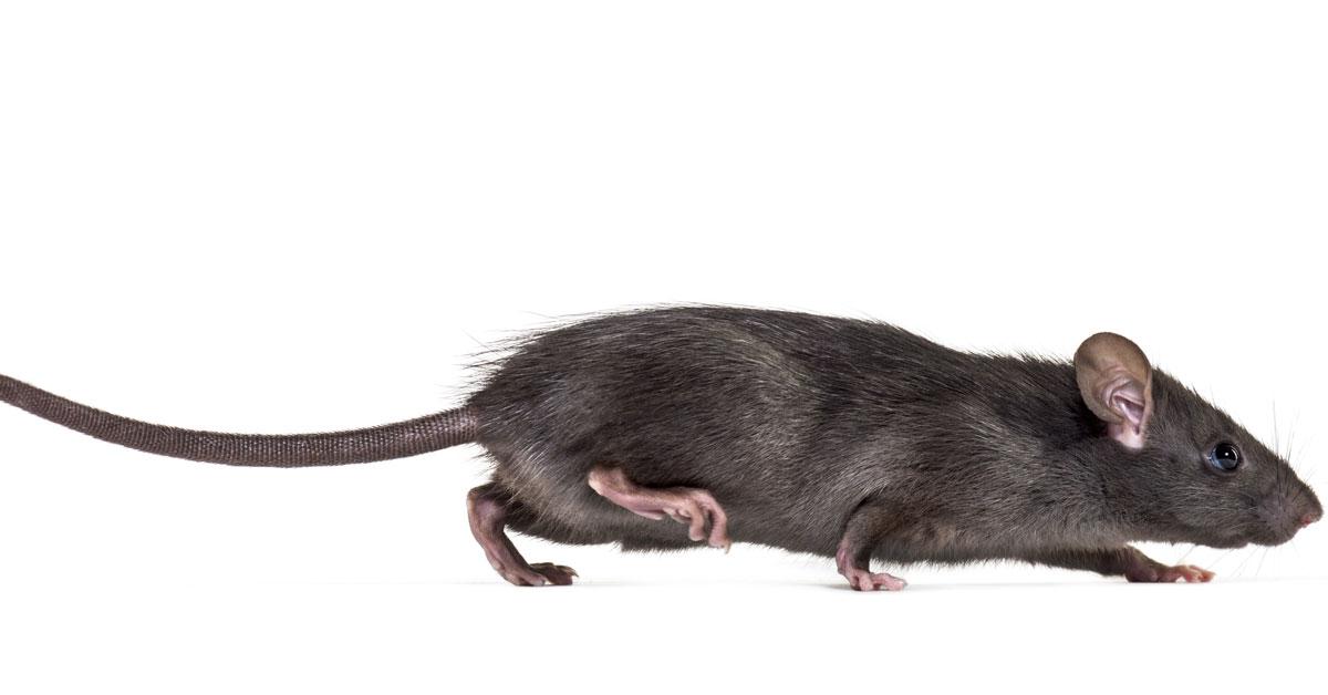 Rat Exterminator Portland OR