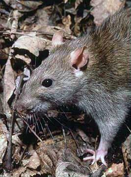 Portland rat control