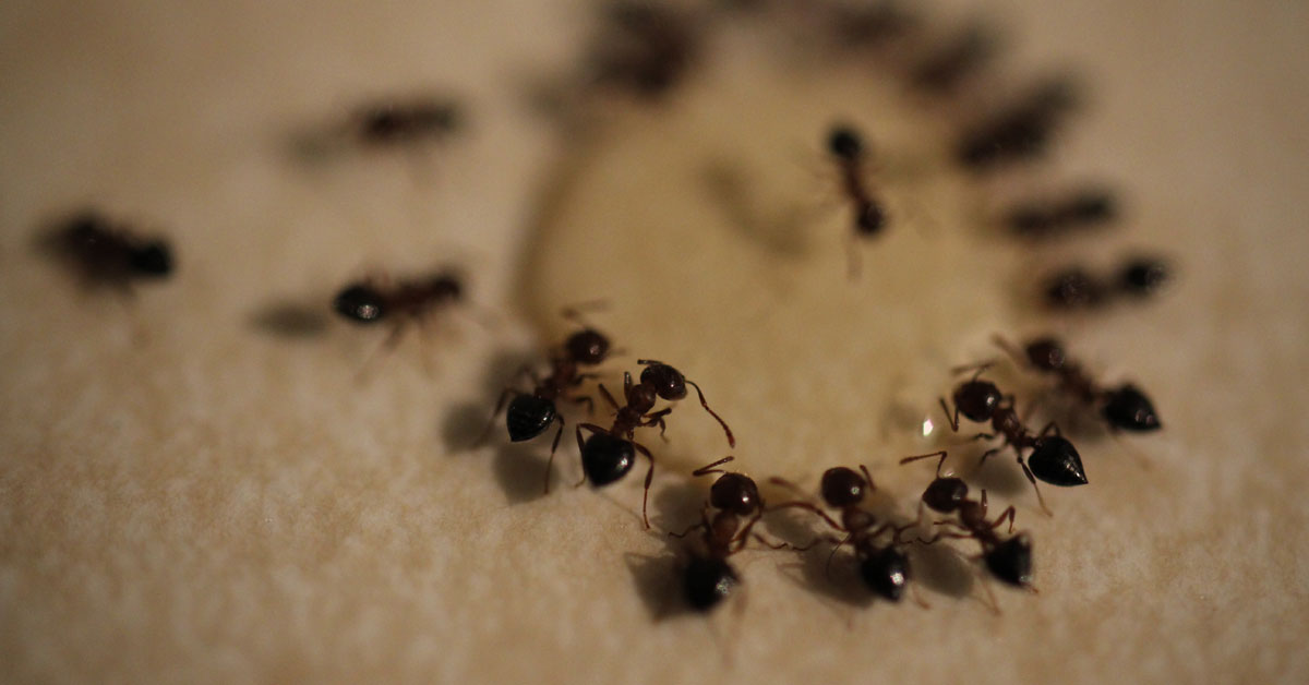 How To Get Rid Of Ants Naturally Vancouver WA