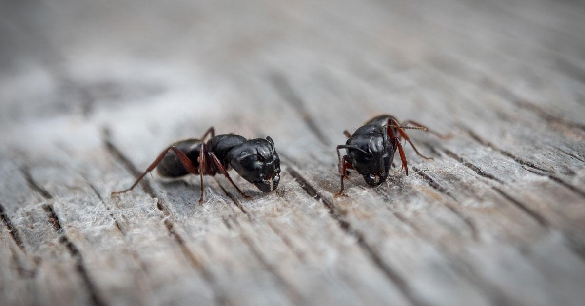 Ant Exterminator Portland OR