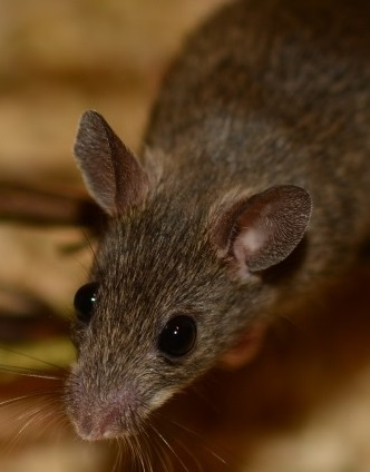 Mice control portland oregon