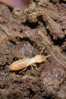 Subterranean Termites Portland OR