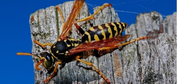 Worst Year Ever For Wasps and Yellow Jackets In Portland, Oregon?